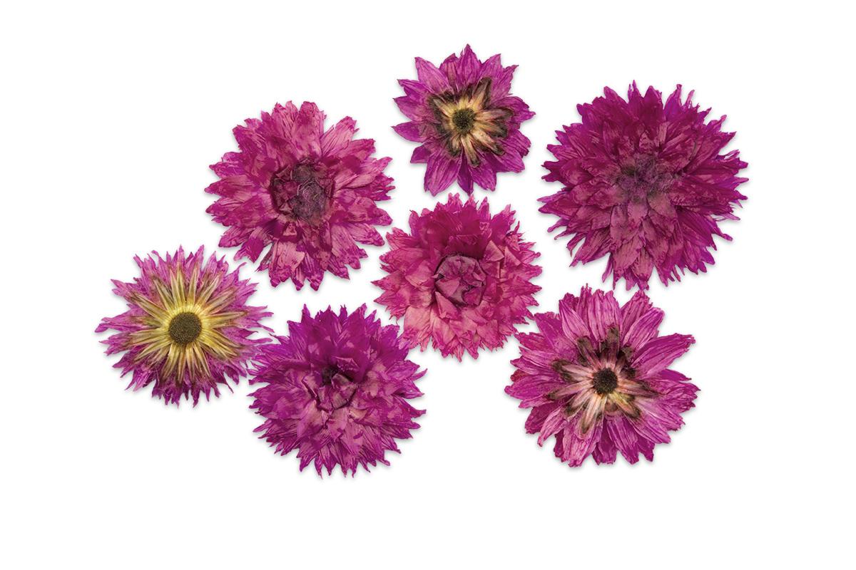 Jolifin dry flower pink cornflower