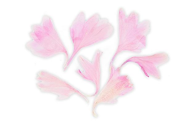 Jolifin dry flower rosé crocus