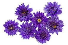 Jolifin dry flower violett cornflower