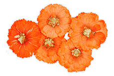 Jolifin dry flower orange cosmos