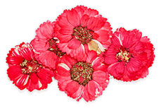 Jolifin dry flower red cosmos