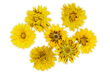 Jolifin dry flower yellow cornflower